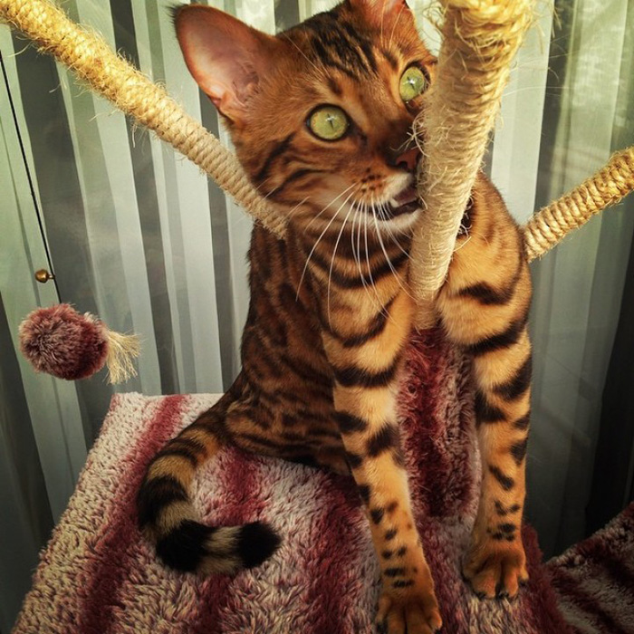 thor the bengal cat playing with ropes