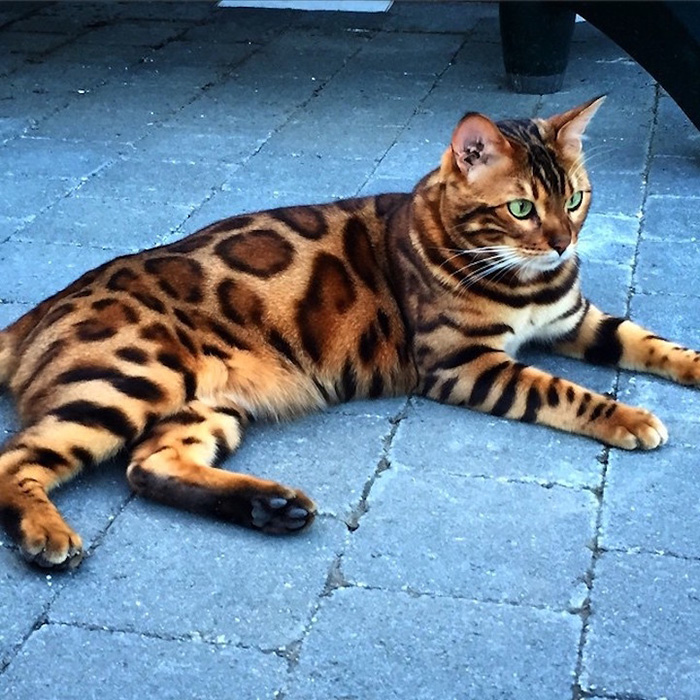 thor the bengal cat relaxing