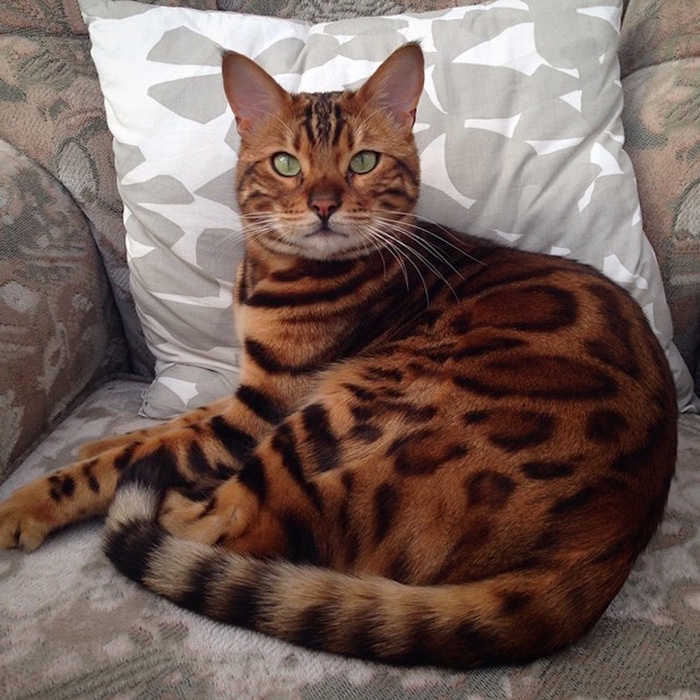 thor the bengal cat sitting on couch