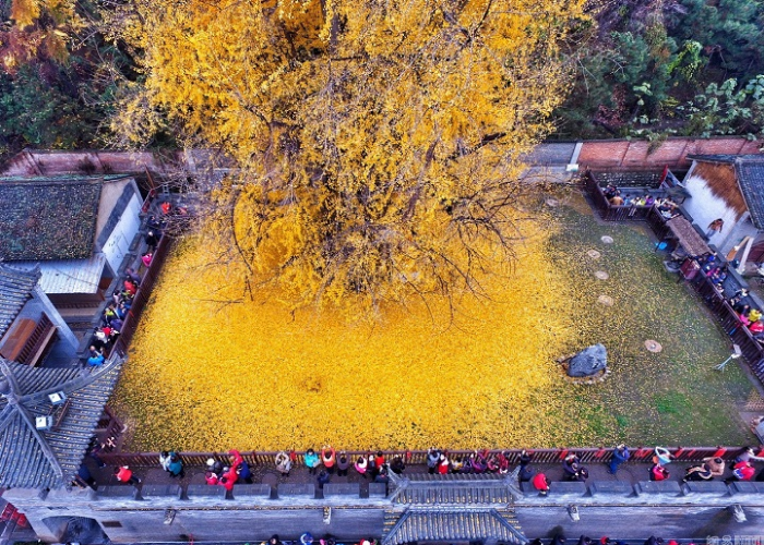 visitors flock to see gingko tree leaves