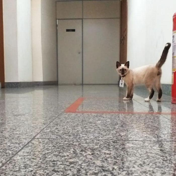 Lawyer Cat Standing Alert in the Hallway