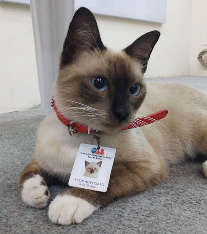 Dr Leon the Lawyer Cat wearing a red collar and his ID