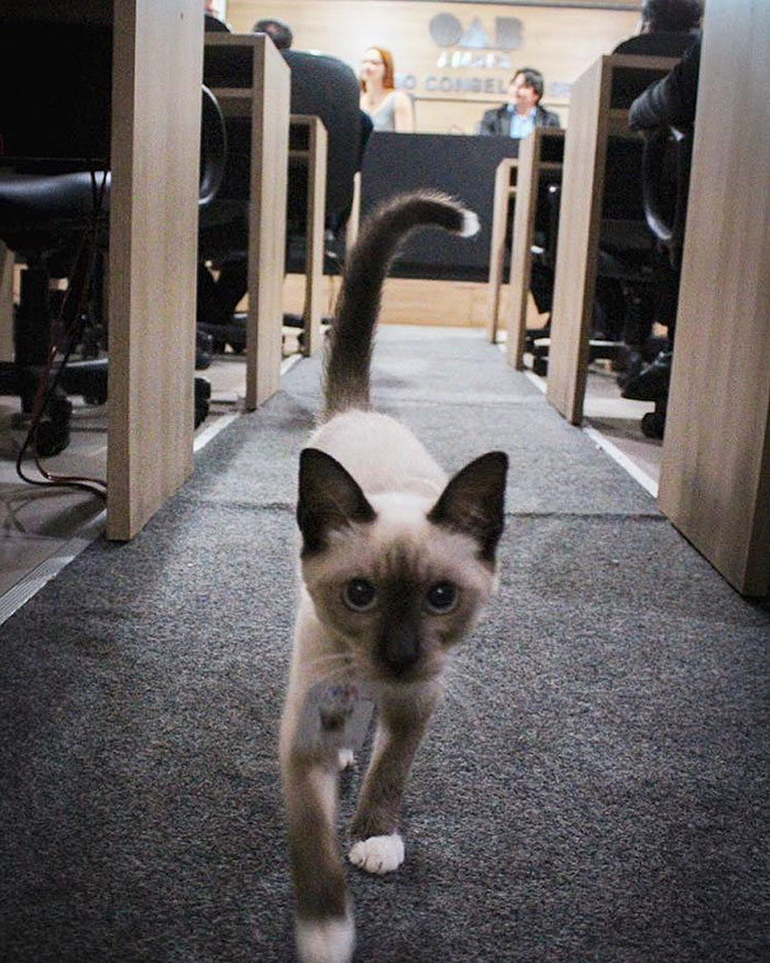 Dr Leon the Lawyer Cat walking towards the camera