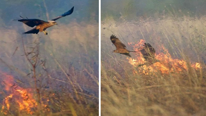 birds being jerks australian firehawks