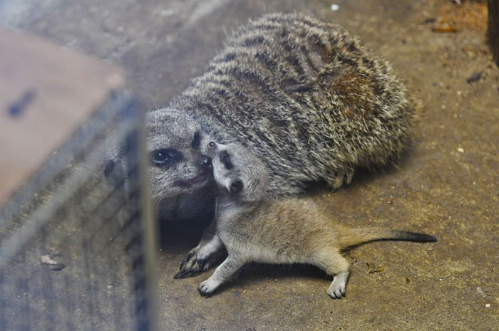 inokashira park infant meerkat