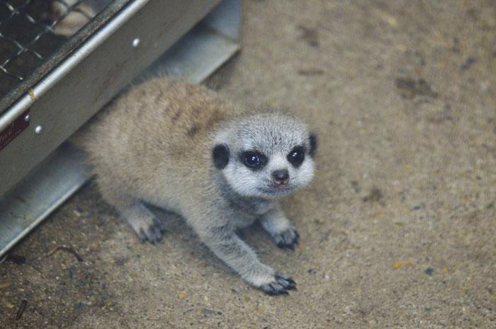 inokashira park zoo baby meerkat adorable