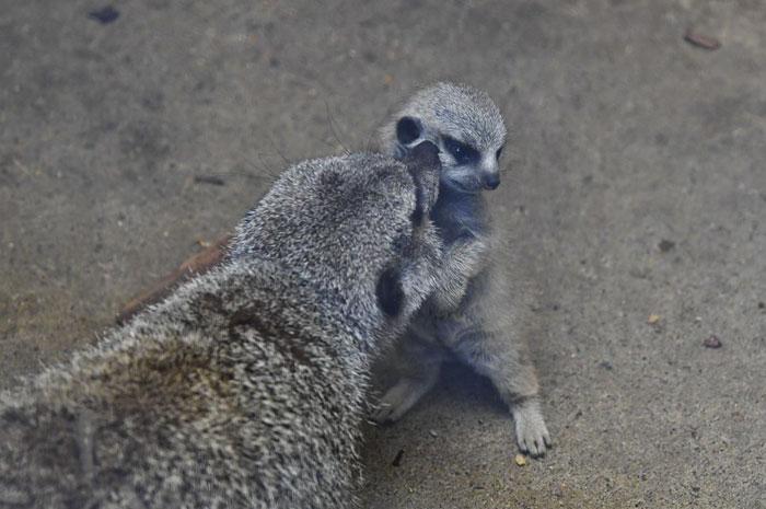 inokashira park zoo baby meerkat cute