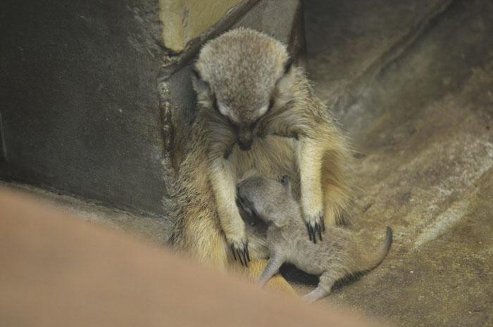 inokashira park zoo baby meerkat feeding