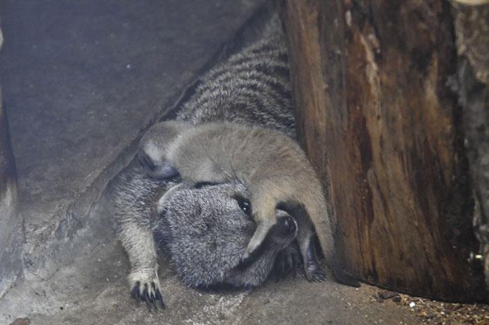 inokashira park zoo baby meerkat plays with its mother