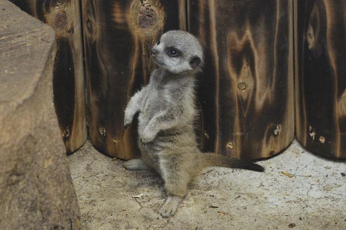 inokashira park zoo baby meerkat standing