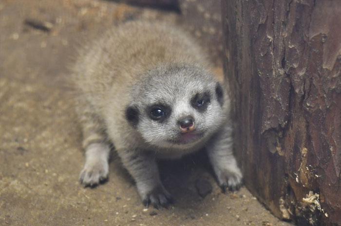 inokashira park zoo baby meerkat
