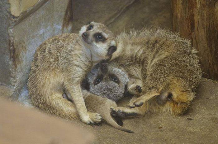 inokashira park zoo meerkat couple