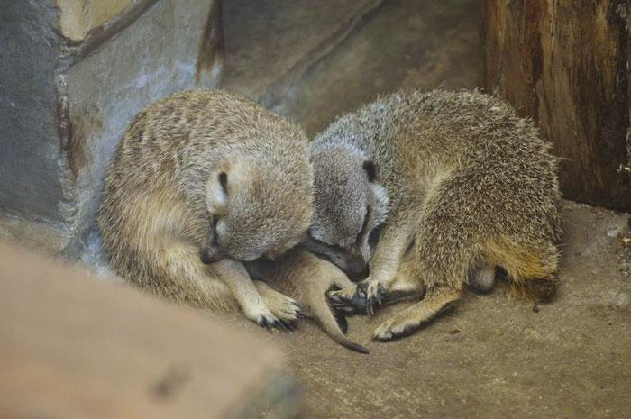 inokashira park zoo meerkat family sleeping