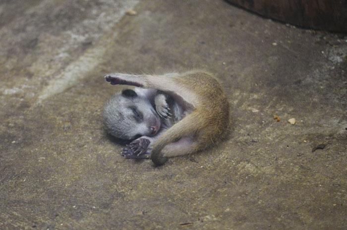 inokashira park zoo newborn meerkat pup