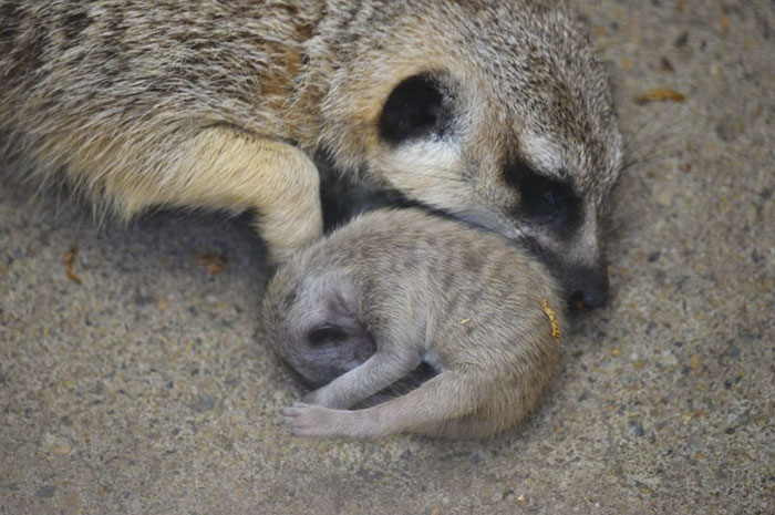 mamekoro51 tokyo zoo meerkat family