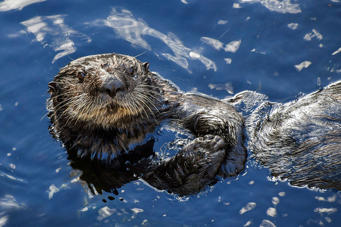 reddit interesting facts otter skin pockets