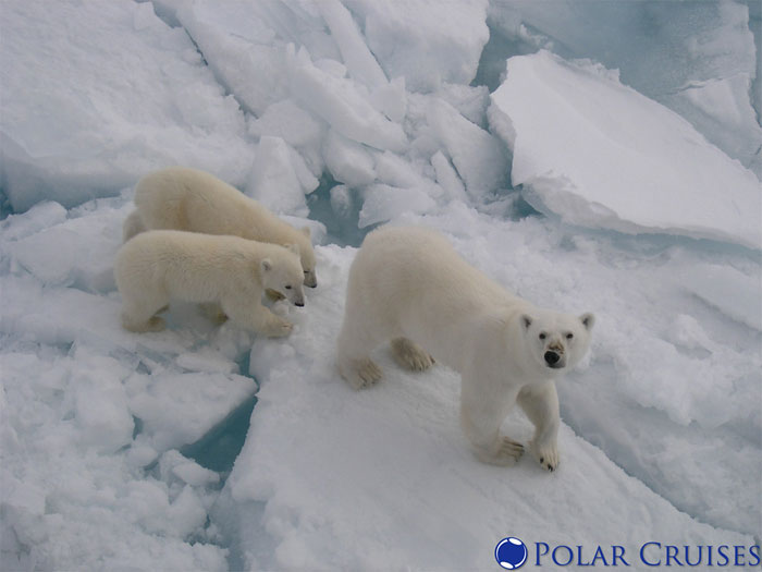 reddit interesting facts polar bears