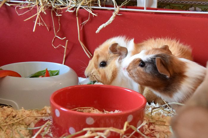 reddit interesting facts switzerland guinea pig law