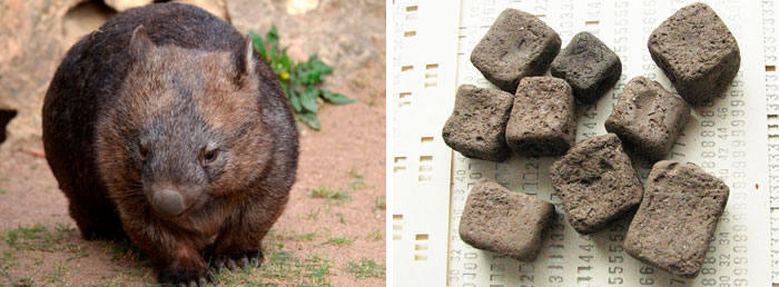 reddit interesting facts wombat poop cubes