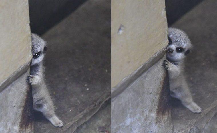 shy baby meerkat