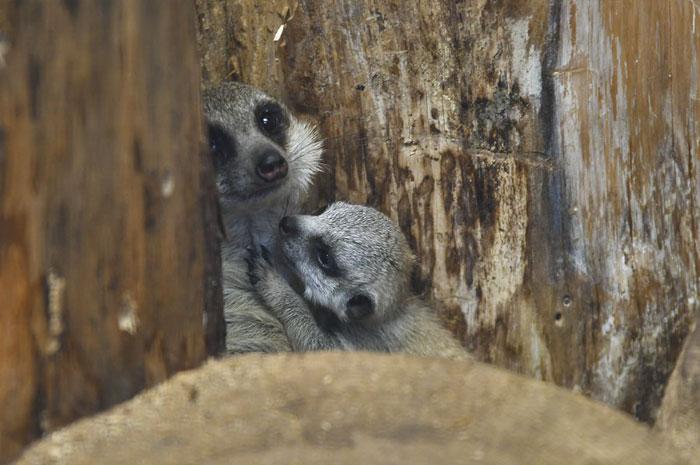 tokyo zoo baby meerkat playing