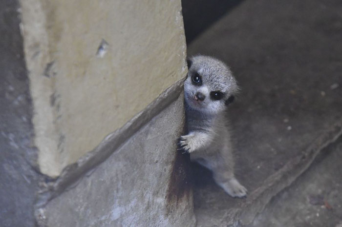 tokyo zoo cute baby meerkat