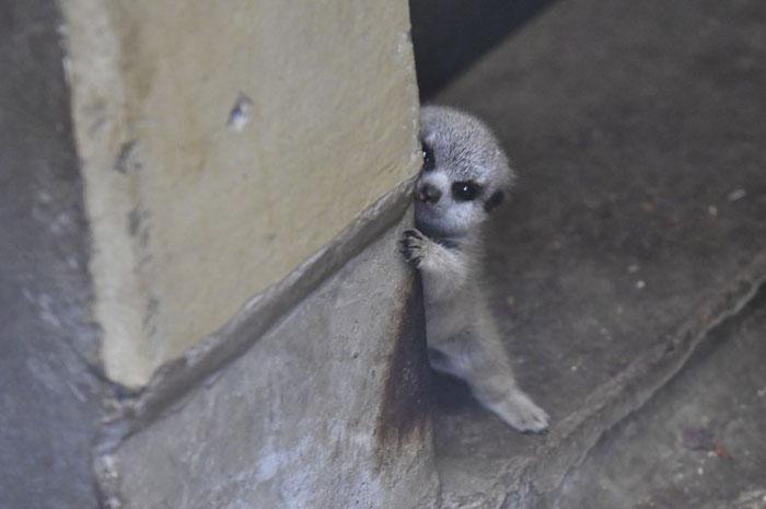tokyo zoo shy baby meerkat peeping