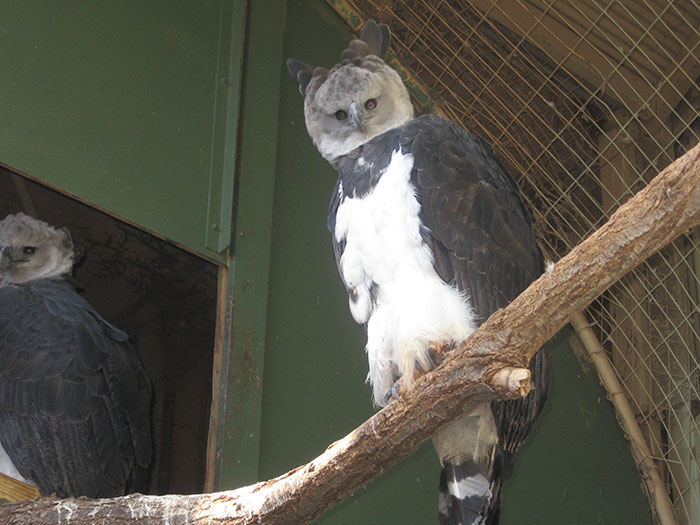 A pair of Harpy Eagles sit on a branch at an eclosure