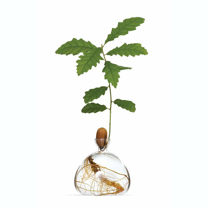 Oak Plant in Glass Vase