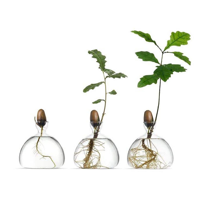 Acorn Seed Growth Stages