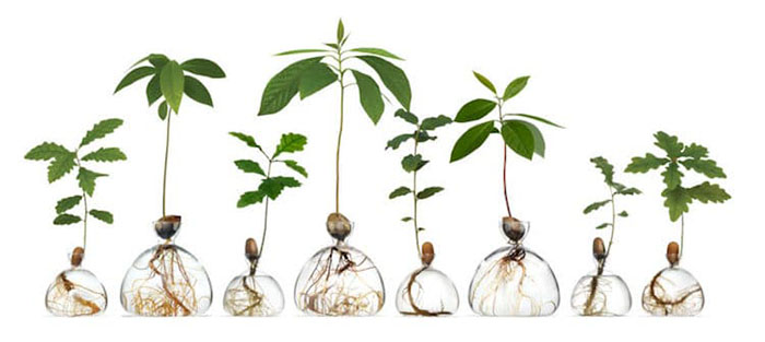 Oak and Avocado Plants in Glass Vases