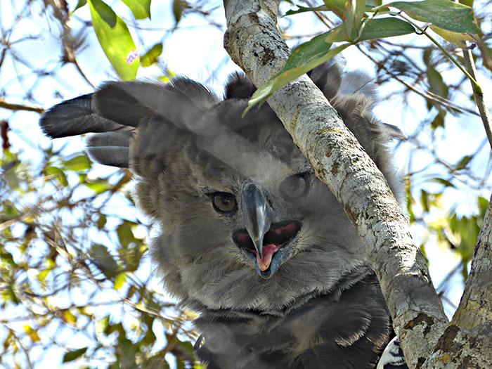 Angry Harpy Eagle