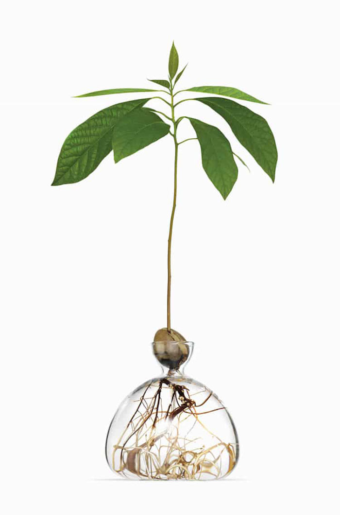 Avocado Plant in Glass Vase 2