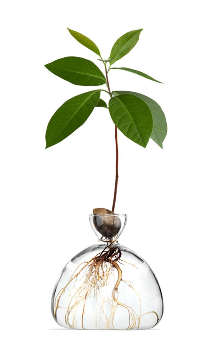 Avocado Plant in Glass Vase 3