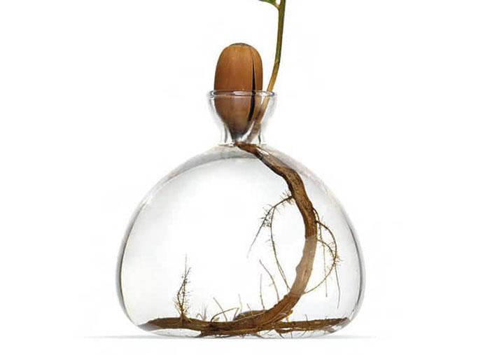 Avocado Seed in Glass Vase