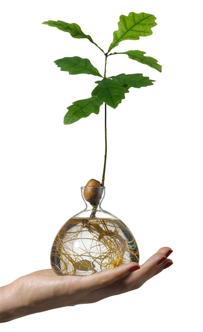 Hand Holding a Glass Vase with Oak Plant