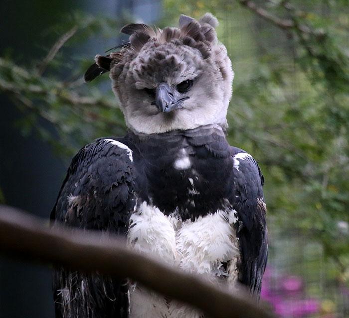 Harpy Eagle pensive expression