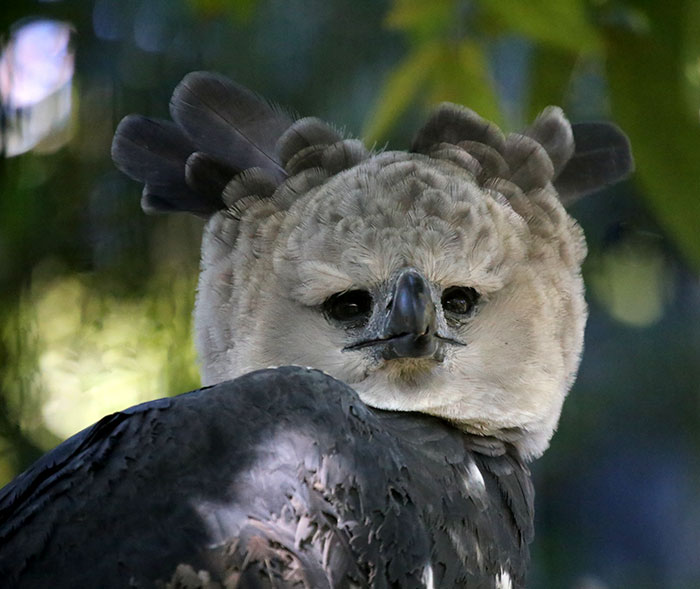 Harpy Eagle seems to frown