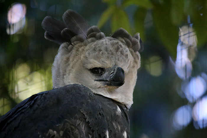 Harpy Eagle side glanceing