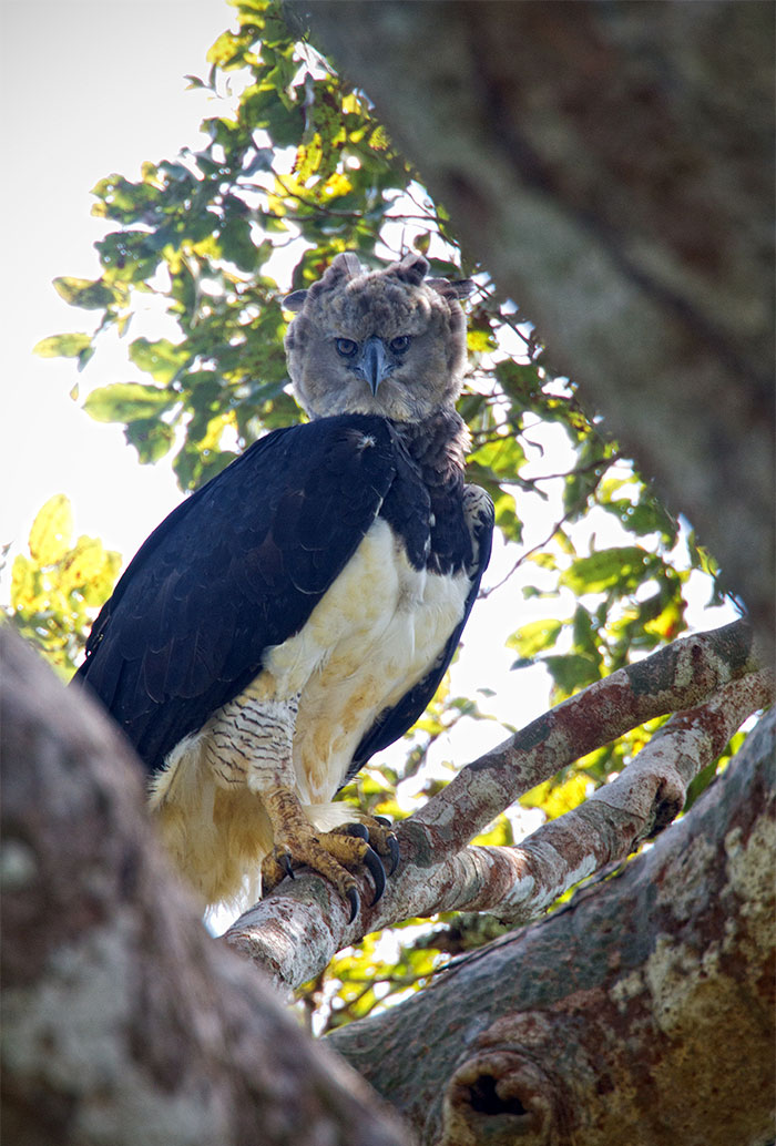 Harpy Eagle stares at photographer