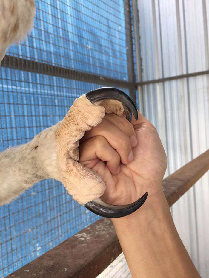 Harpy Eagle's huge claws and lethal talons