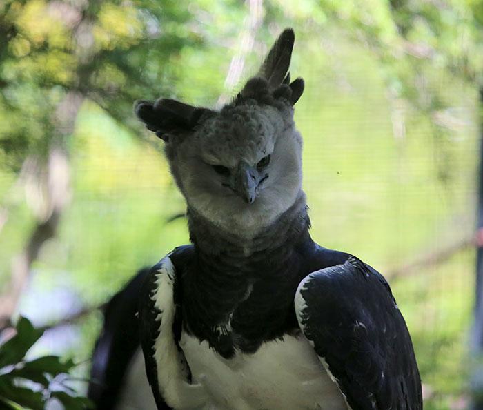 Menacing Harpy Egle