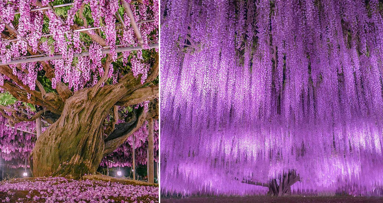 The Wisteria Tree At Ashikaga Flower Park Is Regarded As One Of