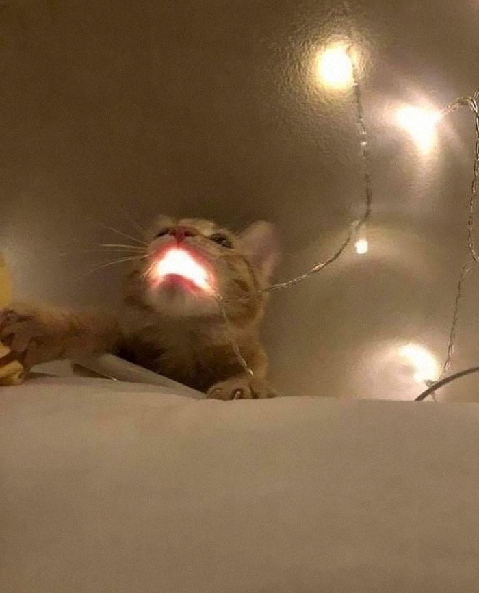 animals that look evil cat fairy light mouth