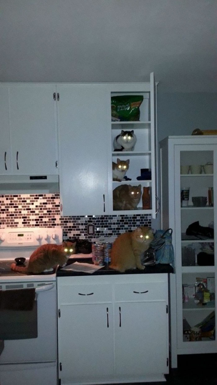 animals that look evil cats kitchen invaders