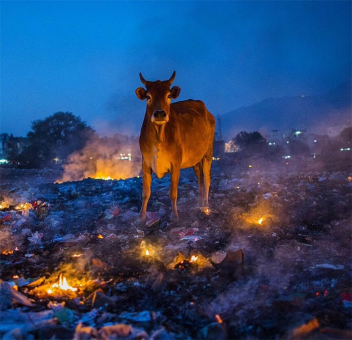 animals that look evil cow fiery ground