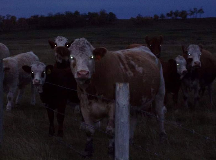 animals that look evil cows glowing eyes