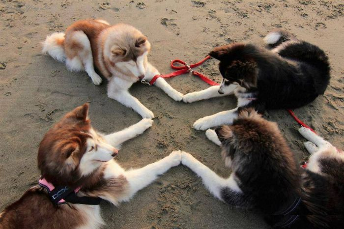 animals that look evil four huskies ritual