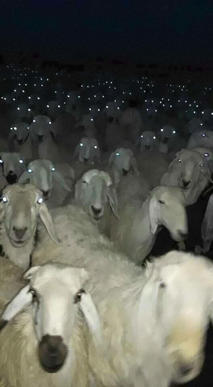 animals that look evil lambs glowing eyes