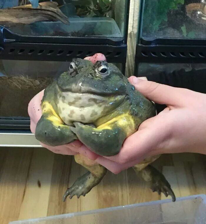 animals that look evil muscular frog